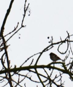 Silhouetted goldfinch