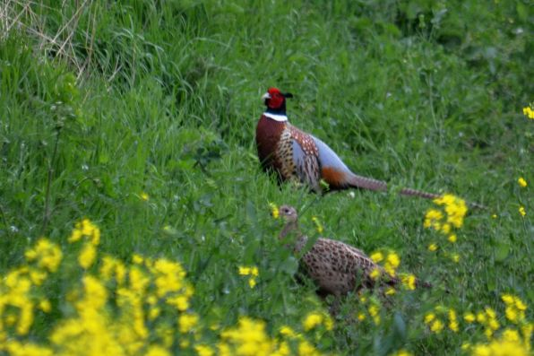 Pair o' pheasants in the oilseed
