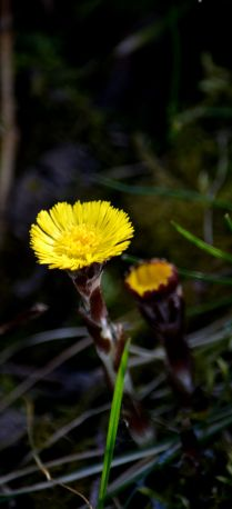 Coltsfoot - looks primitive, somehow