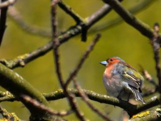 Chaffinch trying to imitate a robin