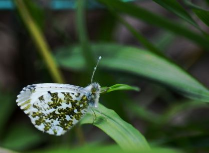 Female orange tip butterfly