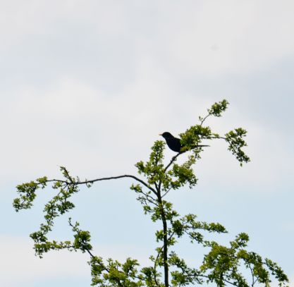 Treetop blackbird