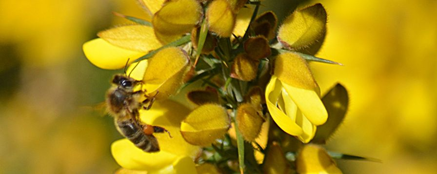 Bee interfering with gorse blossom
