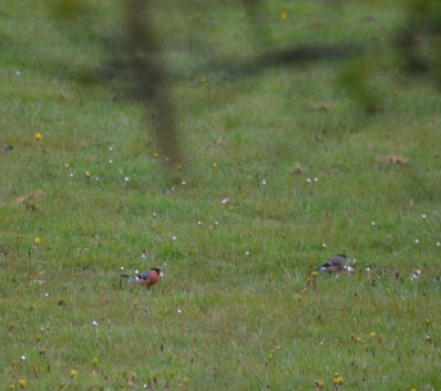 Bullfinches on the rugby field
