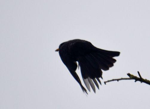 Blackbird doin' the buggerin' off