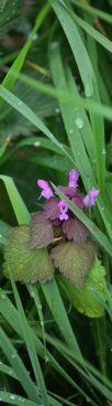 Purple archangel dead nettle