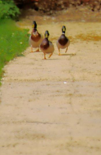 Reservoir ducks
