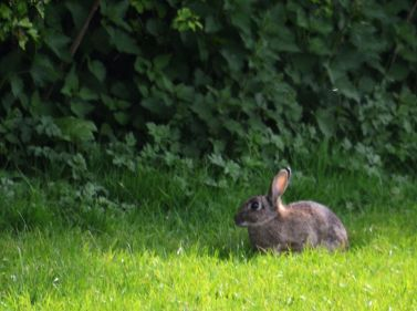 Rugby field rabbit