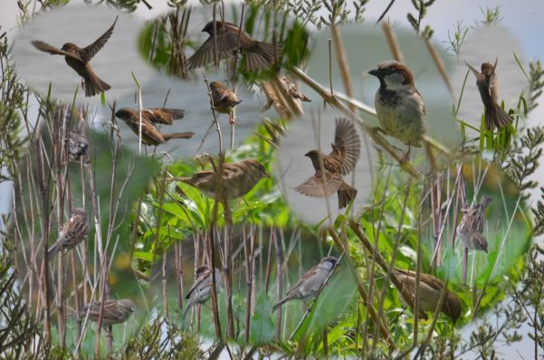 Loads o' sparrows