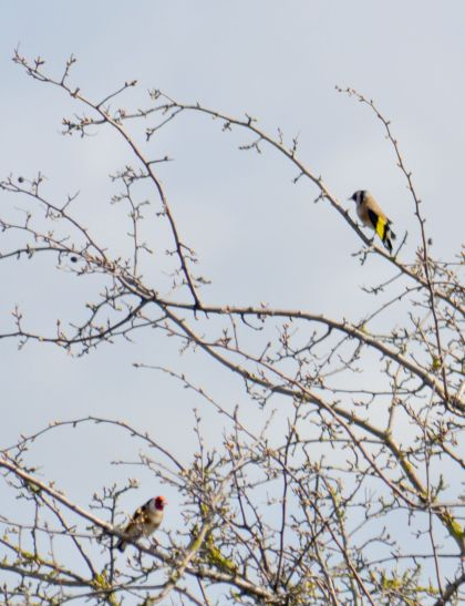 DSC_5914Goldfinches