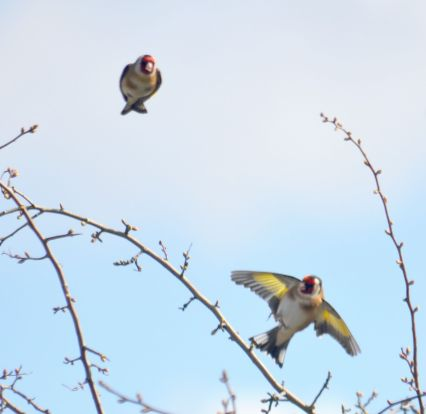 DSC_5935Goldfinches