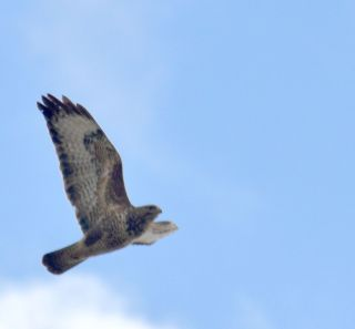 Buzzard over Shireoaks tip