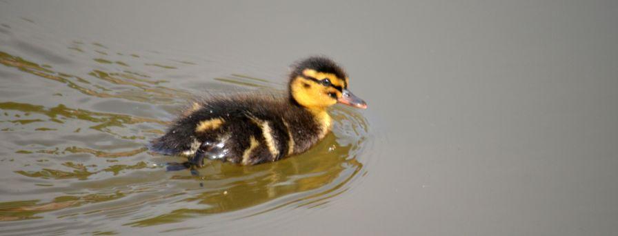 Ducklet
