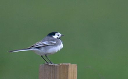 Pid wagtail on a fence post