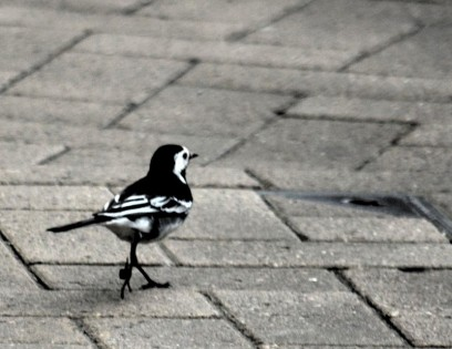 Pied wagtail in Worksop centre