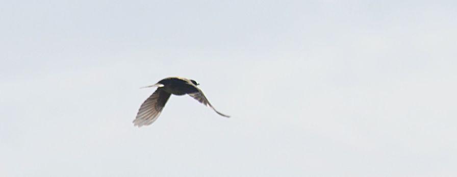 Bird dtbo