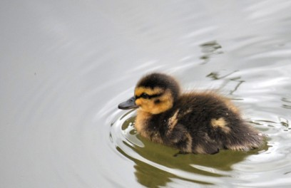 Another boring, but so photogenic, duckling