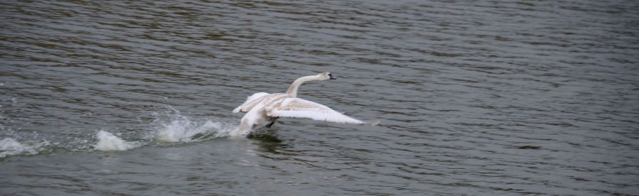 Swan bouncing along