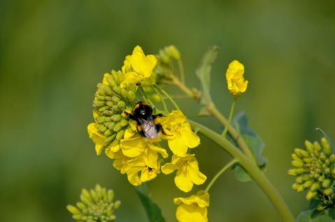 Bee on oilseed rape