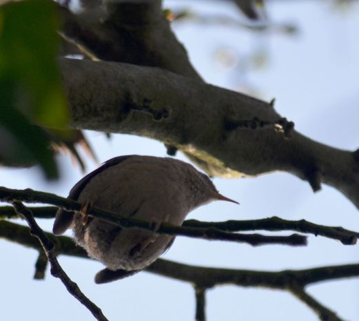 Mystery bird - Wren?