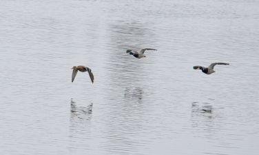 Mallards over the pond