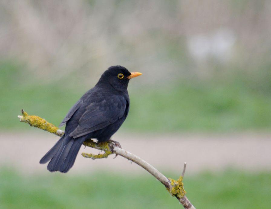 Rather handsome blackbird