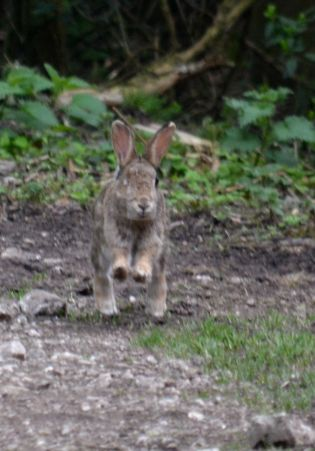 Rabbit on the path