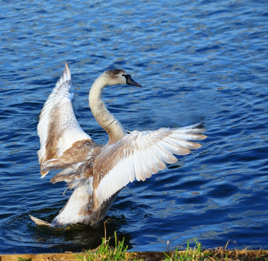 Young swan in a flap