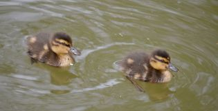 Oops accidentally snapped a couple of ducklings