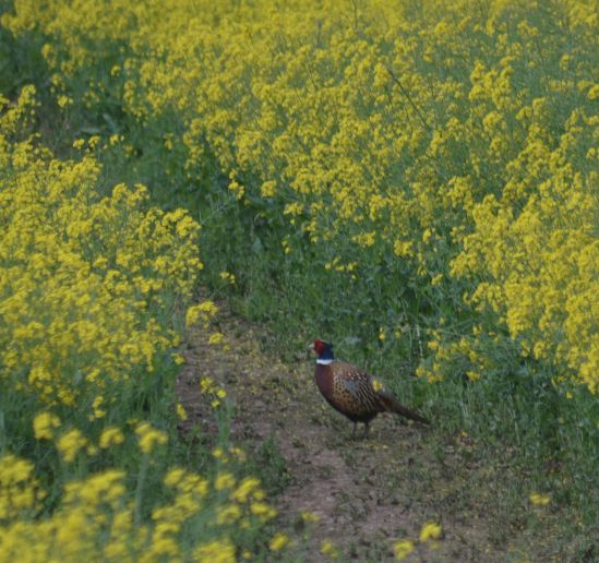 Cock pheasant in the rapeseed