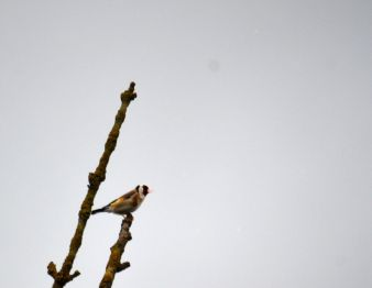 Goldfinch making a hell of a noise