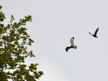 Crow attacking a buzzard