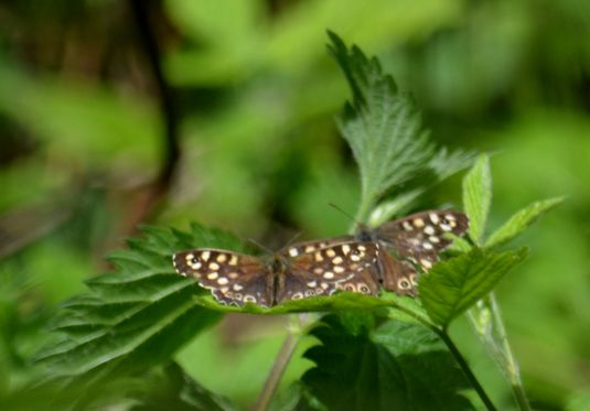 Courting speckled woods