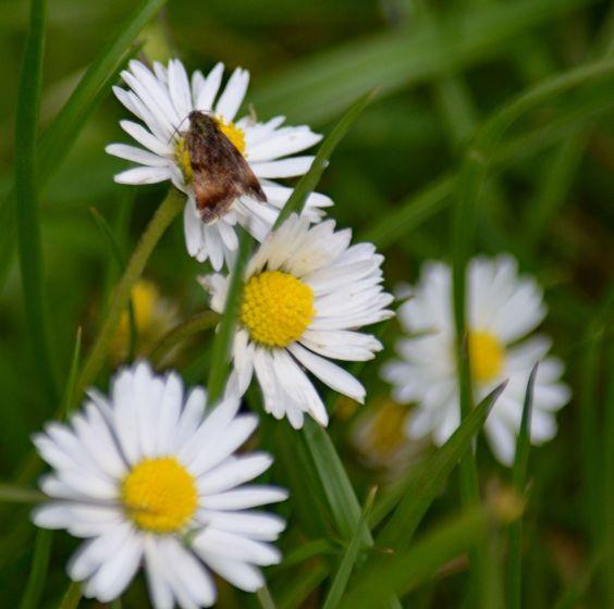 Tiny moth on daisy