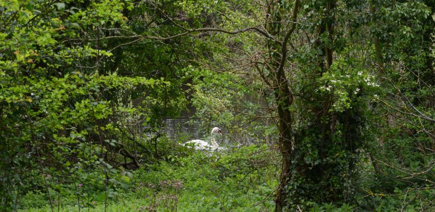 Foraging swan on Lady Lee
