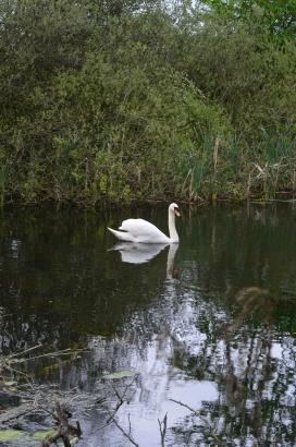 Swan on Lady Lee