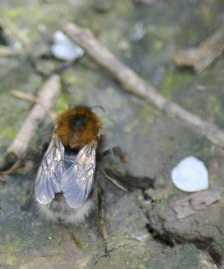 Bee on the ground