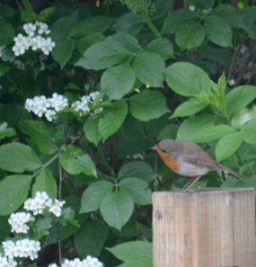 Robin looking round the corner