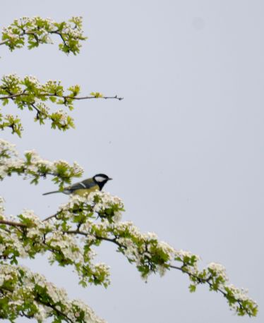 Great tit on hawthorn