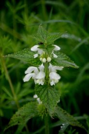 White archangel dead nettle