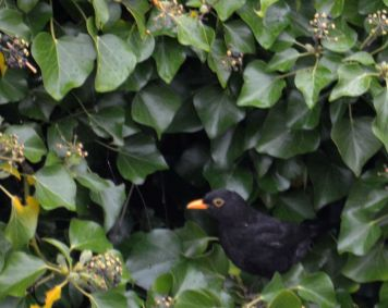 Blackbird in ivy