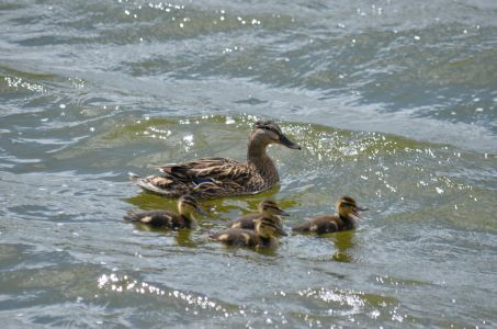 Wind blown waves with mallard family