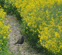 Pheasant in the oilseed rape