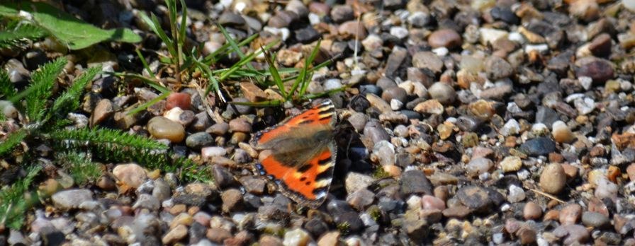 Small tortoiseshell on the path