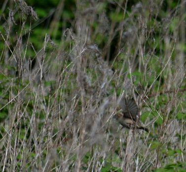 Sparrow in reeds