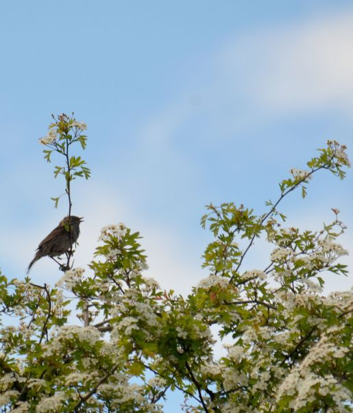 Dunnock Singing in a hawthorn