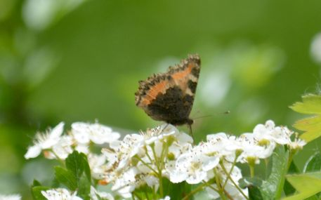 Small tortoiseshell on may blossom