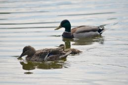 Mallard pair with chick