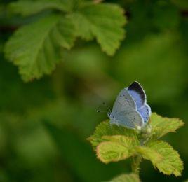 Hlly blue