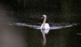Swan, swanning